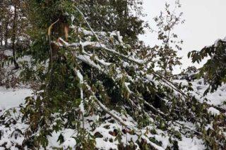 Perdas nos castiñeiros da montaña lucense polas nevaradas
