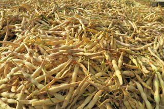 Xornada sobre semente e técnicas de cultivo da faba de Lourenzá