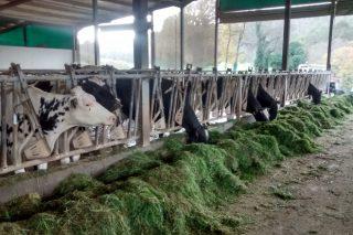 Gandería Sebastián SC: As vantaxes de traballar con herba fresca en pesebre