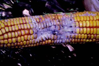 Estrategias de prevención y control para minimizar la contaminación por micotoxinas en maíz