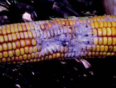 Estratexias de prevención e control para minimizar a contaminación por micotoxinas en millo