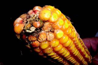 Infección da mazorca por aflatoxinas ('A. flavus').