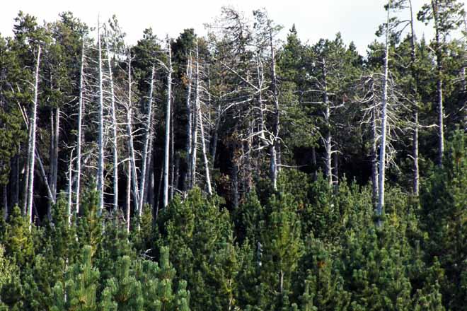 El monte gallego alberga 6 millones de árboles muertos
