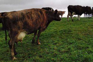 Vaca cruzada de la granja Evangelho.