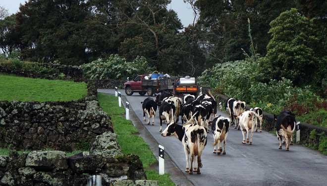El desplazamiento de las vacas a los pastos por la carretera es una estampa habitual en las Azores.