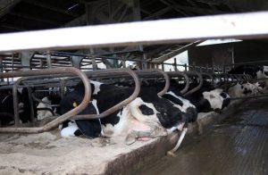 Vacas en produción descansando en los cubículos de la ganadería Herdeiro con los ventiladores encima