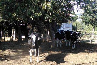 Vacas secas no exterior.