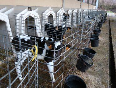 MSD  Animal Health celebra dous seminarios online de vacún de leite os días 2 e 9 de xullo