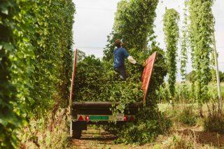 Nova regulación do sector do lúpulo e axudas para o seu cultivo