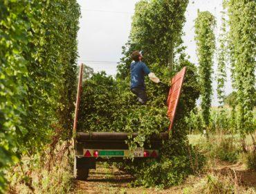 Nueva regulación del sector do lúpulo y ayudas para su cultivo