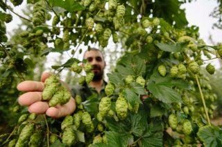 Convocadas as axudas para impulsar as plantacións de lúpulo en Galicia