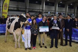 A gandaría Rey de Miñotelo, gran triunfadora do Concurso de Raza Frisoa de Galicia