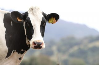 Nestlé prevé certificar este ano a todas as súas granxas en benestar animal