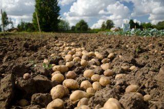 ADEGAL defende o efecto positivo que tivo Mercaproximidade para os produtores de pataca da Limia