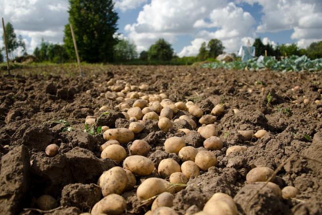 Comeza a recollida de pataca na Limia con incerteza nos prezos