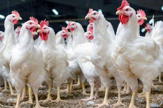 Calculan que cada granxa de polo perderá uns 5300 euros a causa da crise do Covid 19