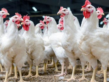 Xornada este venres en Silleda para o sector avícola de carne
