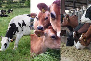 Tres ganderías producindo leite con tres razas diferentes: vantaxes de cada unha