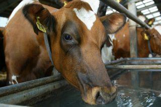 Que se pode facer para reducir o estrés por calor nas vacas de leite?