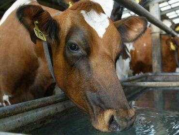 Consellos de Alltech para reducir o estrés por calor nas vacas