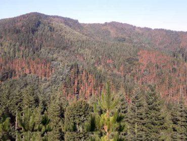 La enfermedad de la banda marrón del pino llega a las puertas de Galicia