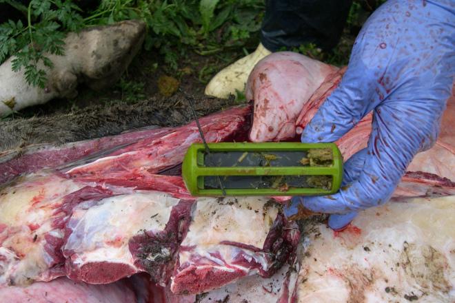 Imán que retén os anacos de metal no retículo, evitando lesións ao animal