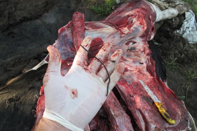 Recomendacións para evitar a morte das vacas por anacos de metal