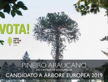 O piñeiro araucano de Soutomaior, candidato a árbore europea do ano