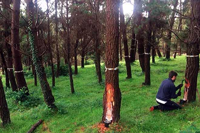 Tres montes galegos acollerán novas investigacións sobre a extracción da resina