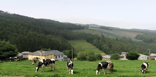 Vacas pacendo a carón da nave de produción