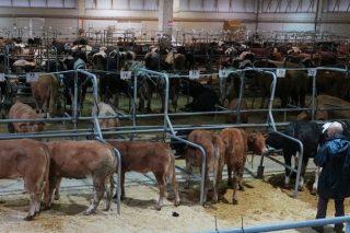 Baixadas nos prezos da recría e suba do vacún maior en Silleda
