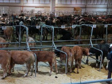 Baixada dos prezos do gando vacún en Silleda