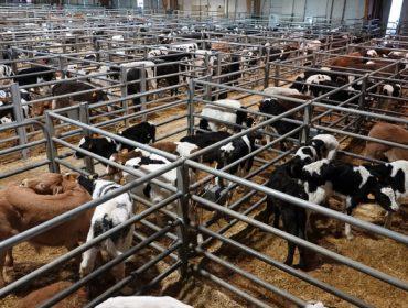 Baixada nos becerros de recría e carniceiros en Silleda