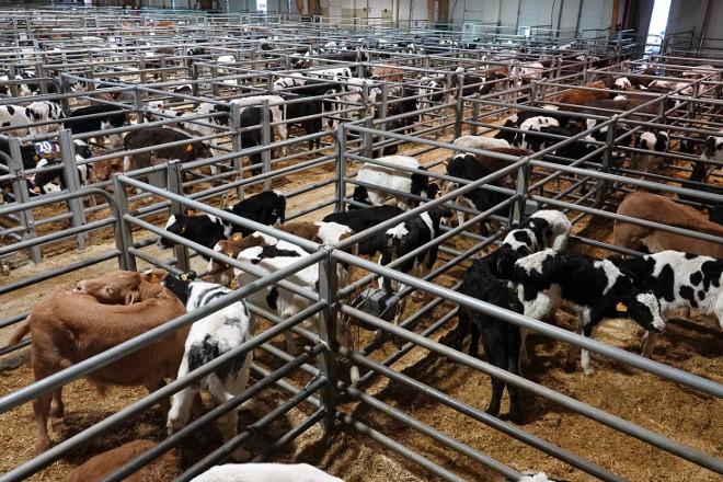 Baixada dos becerros de recría e carniceiros en Silleda