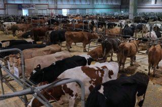 Récord no prezo medio do vacún maior en Silleda