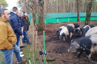 A Deputación de Lugo custea os programas sanitarios das explotacións de porco celta da provincia