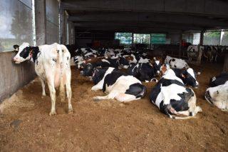 10 claves para traballar con camas de compost en granxas de vacún de leite