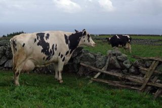 En primeiro termo, vaca que produce 18.000 litros ó ano.