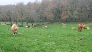 Vacas-Rubia-Galega-e-Asturiana-Rodeiro-