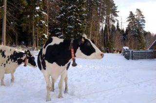 ¿Cómo trabajan en Suecia para reducir el uso de antibióticos en vacuno de leche?