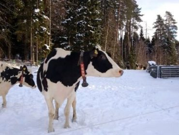 ¿Como traballan en Suecia para reducir o uso de antibióticos en vacún de leite?