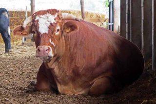 ¿Cómo trabajan en el mayor criadero de bueyes de Galicia?