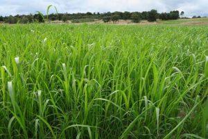 Pasto de Sudán nunha das fincas de Prodeme