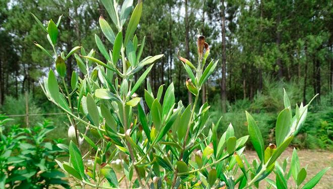 Recomendacións para mercar oliveiras con garantías fitosanitarias