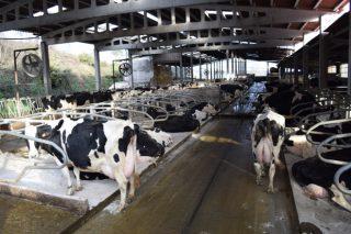 As entregas de leite soben en Galicia un 1,53% no primeiro trimestre mentres que no resto de España baixan un 1,67%