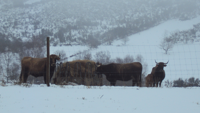 Vacas-Limias-Neve-Allariz-CM-Penama-