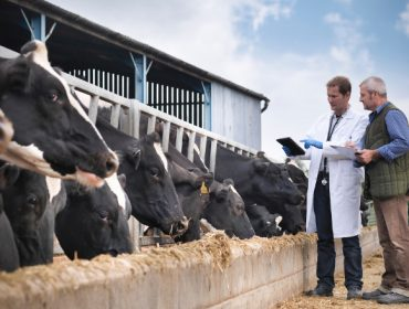 Alimentación e benestar animal unidos na produción de leite