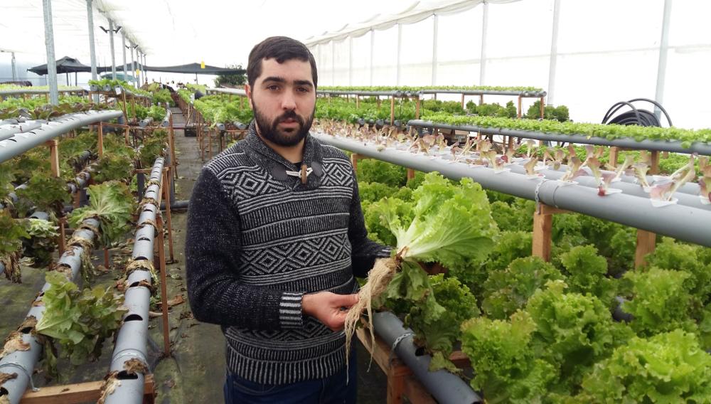 """""""El cultivo en hidropónico de lechuga es más rentable que en tierra"""""""