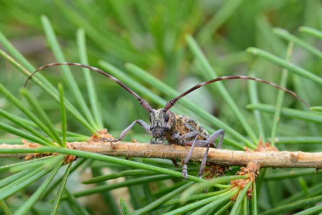 'Monochamus galloprovincialis', insecto vector da praga do nematodo do piñeiro. / Imaxe: Ángel Herrero Álvarez.