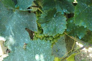 ¿É posible facer viño sen realizar tratamentos contra mildio e oídio?